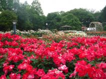 伊奈町町制施行記念公園 バラ園
