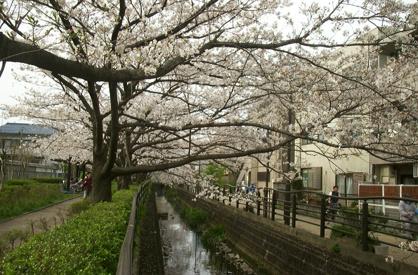 二カ領用水 桜の画像1