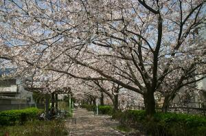 二カ領用水 桜の画像2