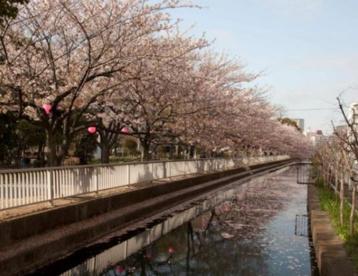 仙台堀川公園の桜の画像1