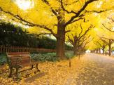 明治神宮外苑いちょう並木