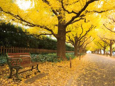 明治神宮外苑いちょう並木の画像1